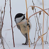 Cute Chickadee checking out seed pod