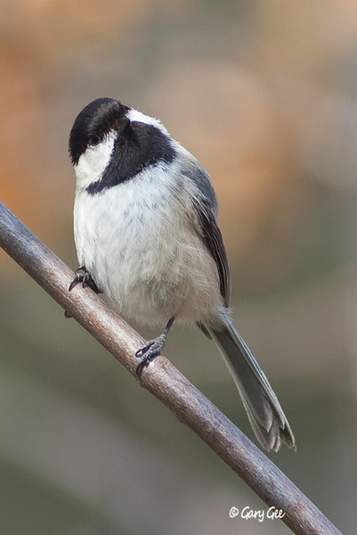 Cute Black-Capped Chickadee