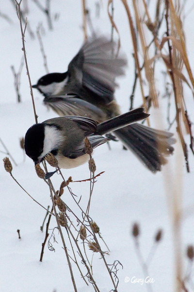 Pair of Black-capped Chickadees feeding before nightfall