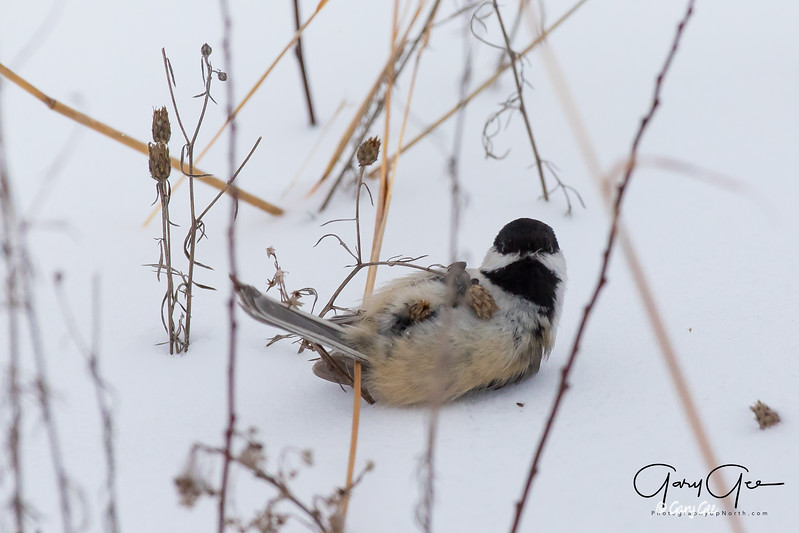 Chickadee showing some frustration on it's face that I'm looking at him!