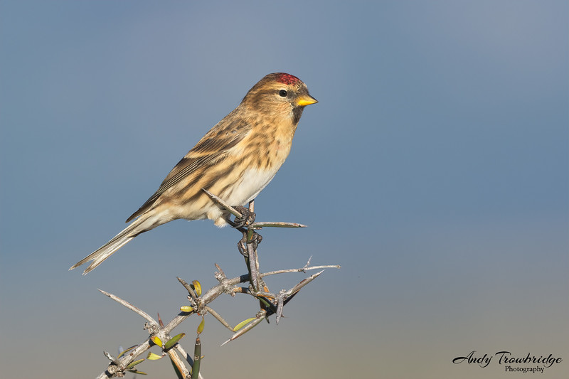 Common Redpoll (Acanthis flammea)