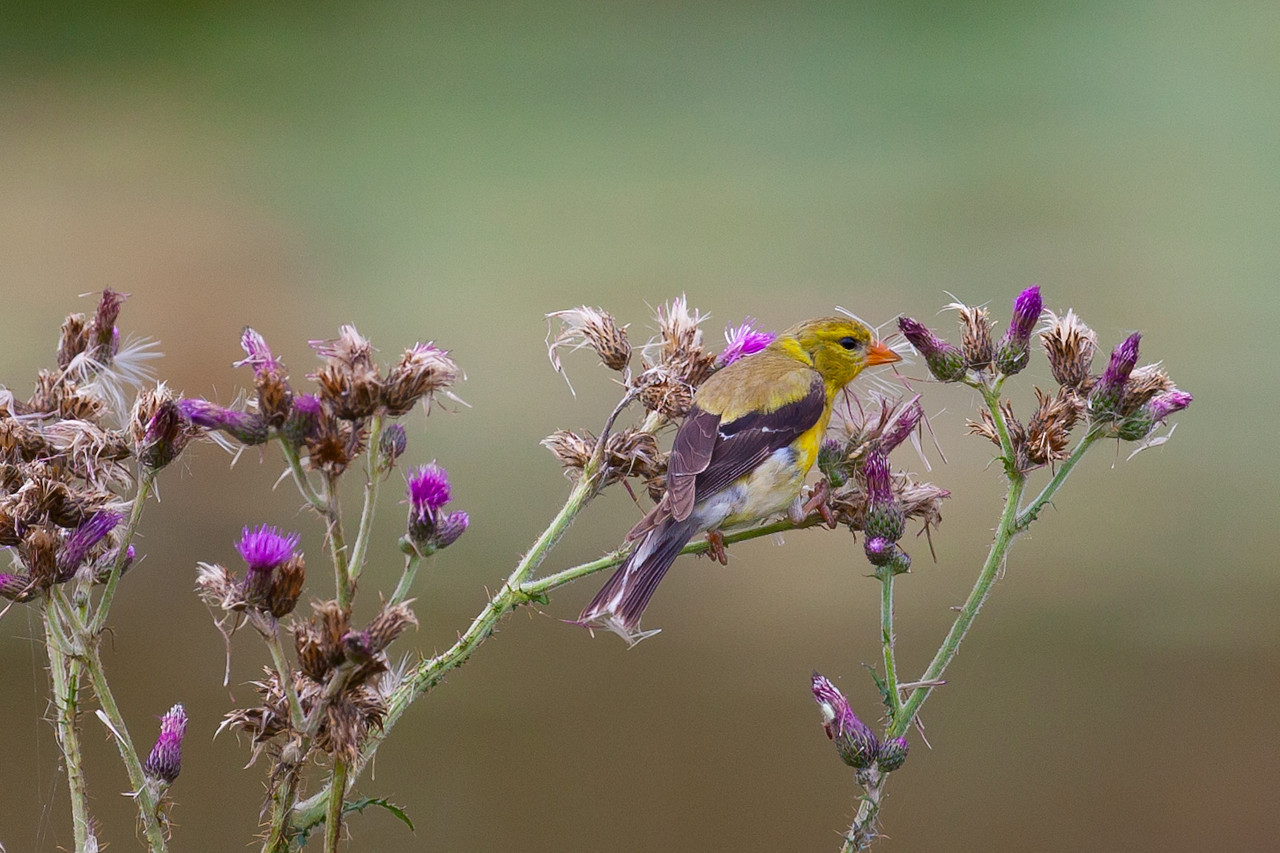 Female Gold Finch in thistle
