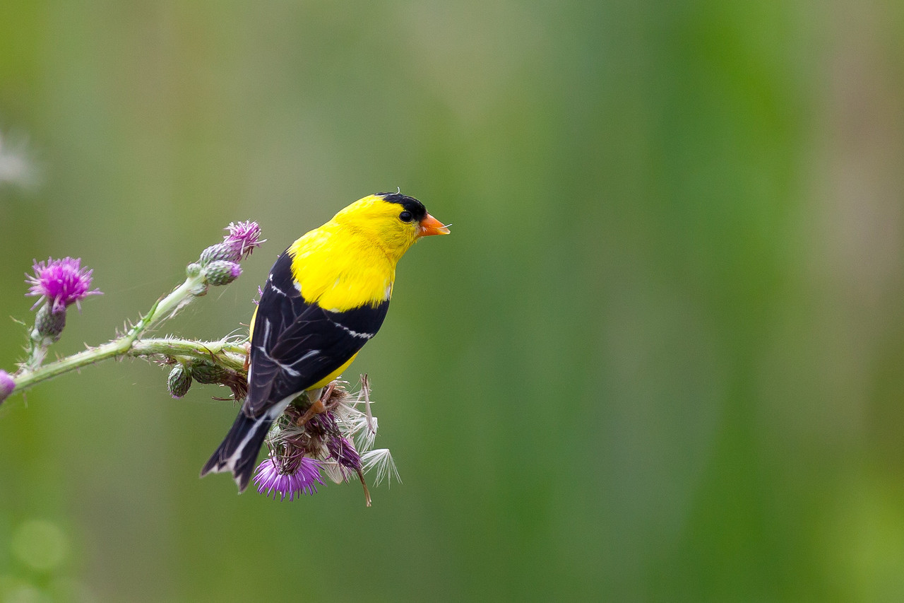 American Gold Finch feeding on thistle weed