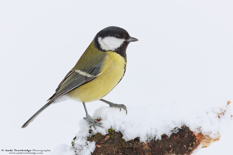 Great Tit (Parus major)