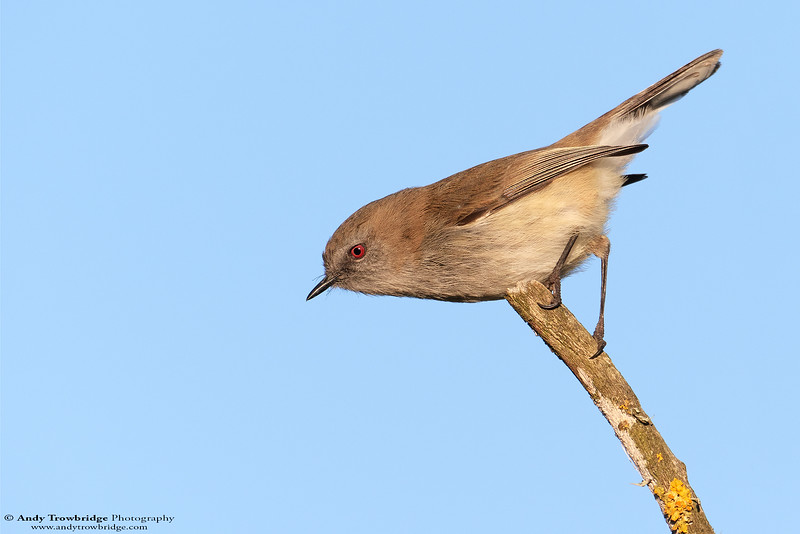 Grey Warbler (Gerygone igata)