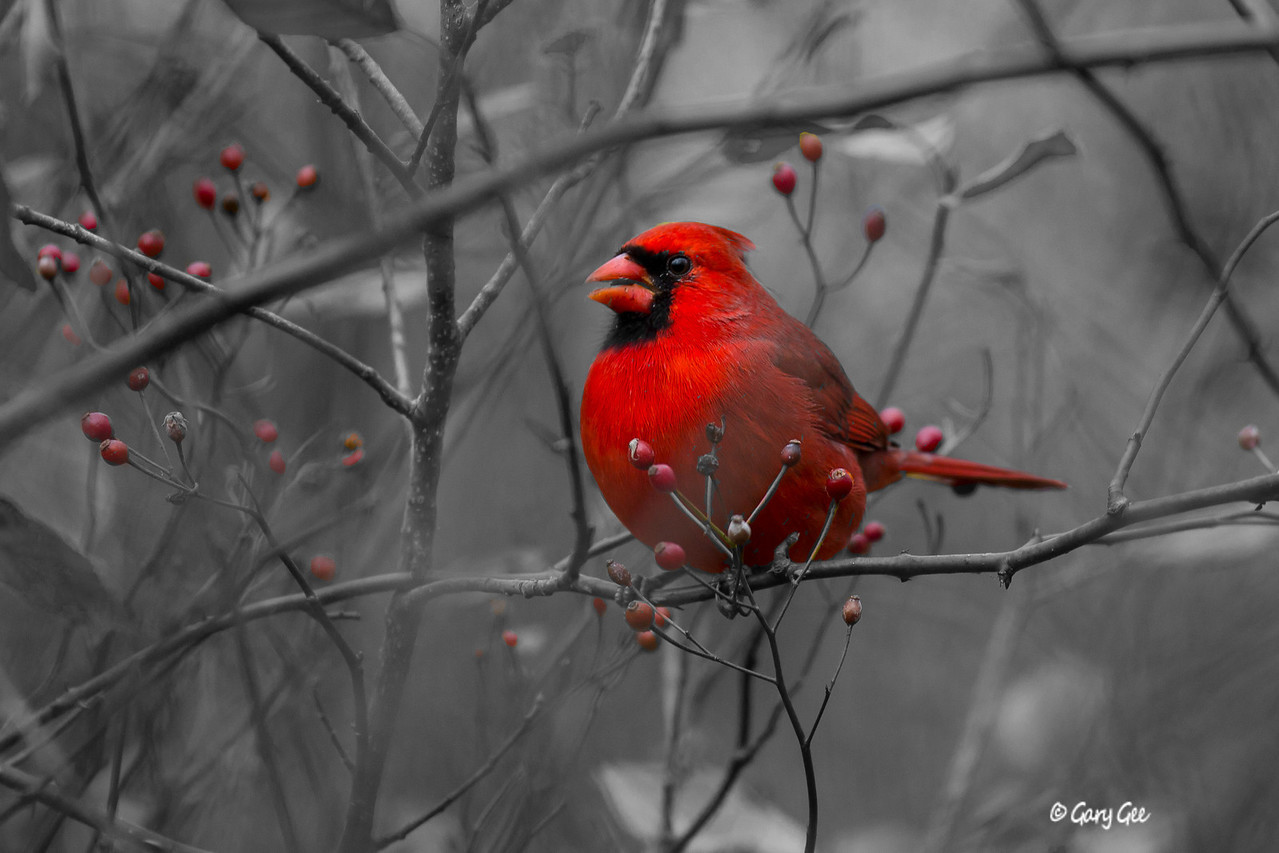 Northern Cardinal Black & White
