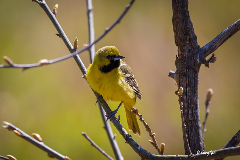 Orchard Oriole 1st year Adult
