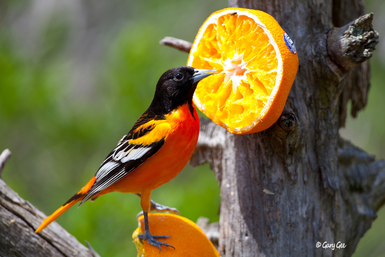 Northern Oriole (sorry, had to include the oranges just for color comparison