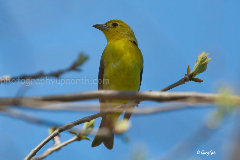 Female Scarlet Tanager