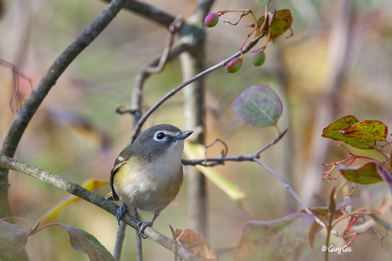 Solitary Vireo - (blue-headed vireo)