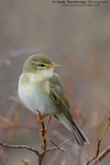 Willow Warbler (Phylloscopus trochilus)