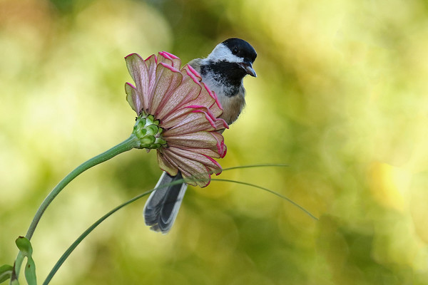 Black-Capped Chickadee With Sun Flower Seed On Zinnia (Parus atricapillus), #1