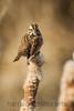 Song Sparrow<br /> Huntley Meadows, VA