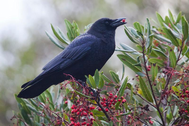 Crow1624