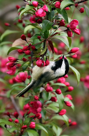 Black-Capped Chickadee On Crabapple Tree (Parus atricapillus)