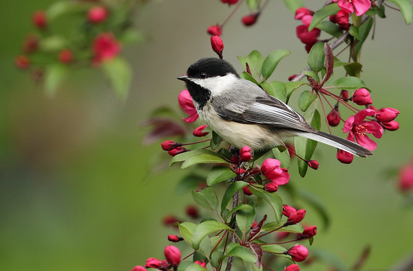In Memory of Edna who loved ALL birds, especially Eagles, Black-Capped Chickadees and Gold Finches.  Black-Capped Chickadee On Crabapple Tree (Parus atricapillus)