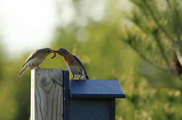 Eastern Bluebird Pair And Worm