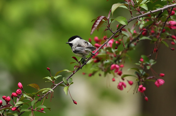 Blacked- Capped Chickadee On Crabapple Tree (Parus atricapillus)