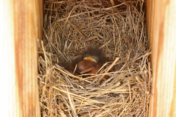 Newborn Easter Bluebird Babies In Nest # 2