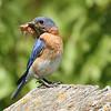 Eastern Bluebird With Prey #2 (Sialia sialis)