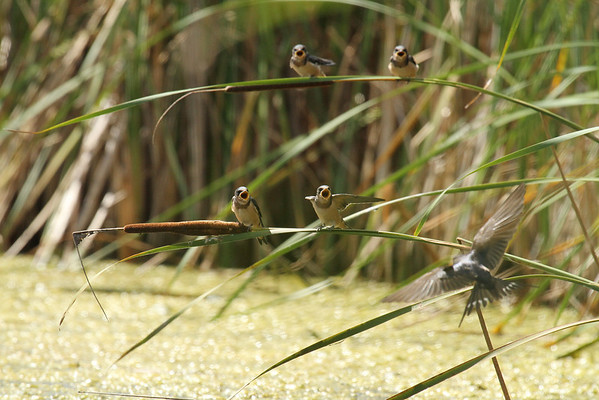 Barn Swallow Family (Hirundo rustica)