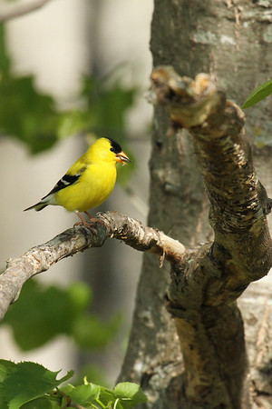 American Goldfinch With Seed (Carduelis tristis)