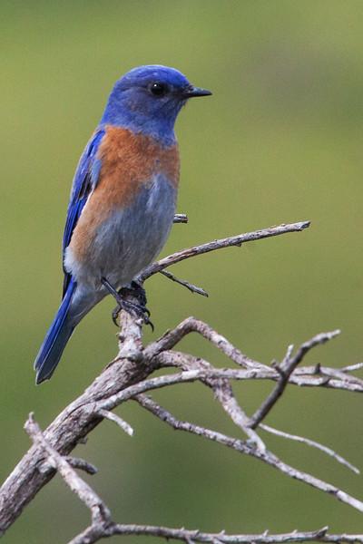 Bluebird4675