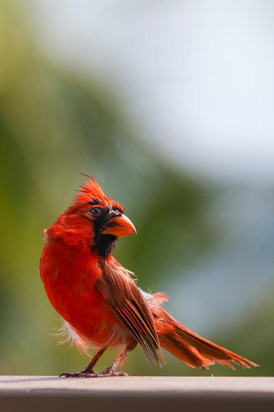 Cardinal2986