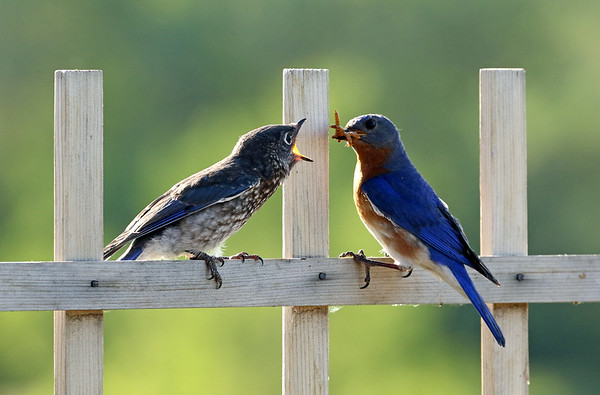 Male Eastern Bluebird Feeding Young #3