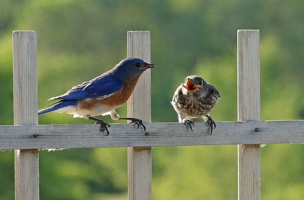 Male Eastern Bluebird Feeding Young #1
