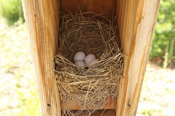 Eastern Bluebird Nest With Four Rare White Eggs