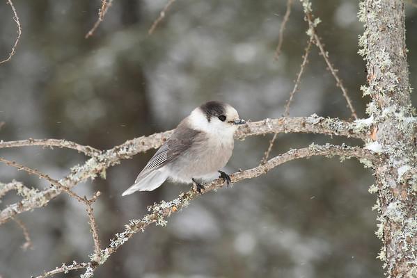 Grey Jay (Perisoreus canadenis)