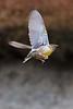 Meadowlark1636