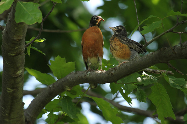 American Robin With Young (Turdus migratorius)