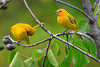 MG5921-Saffron Finches in Hawaii, October, 2013