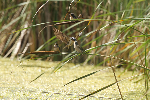 Barn Swallow Family (Hirundo rustica)