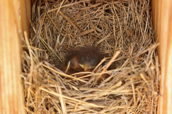 Newborn Eastern Bluebird Babies In Nest # 1
