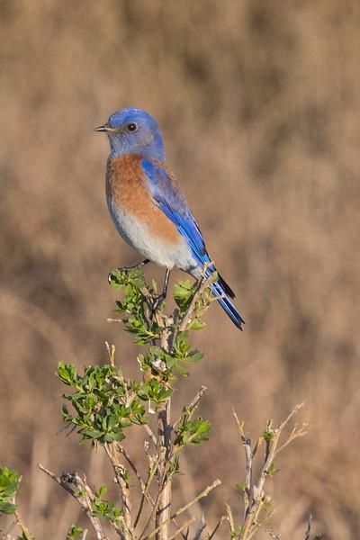 Bluebird(8x12)8940