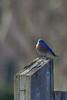 Bluebird(8x12)7386