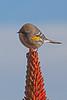 Warbler(8x12)2770