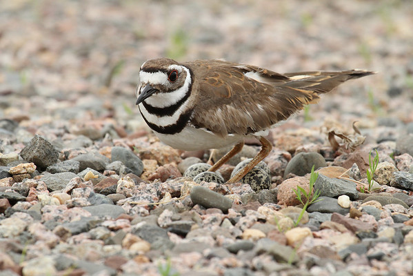 Killdeer On Eggs (Charadrius vociferous)