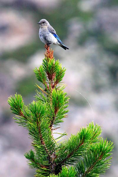 Bluebird4990