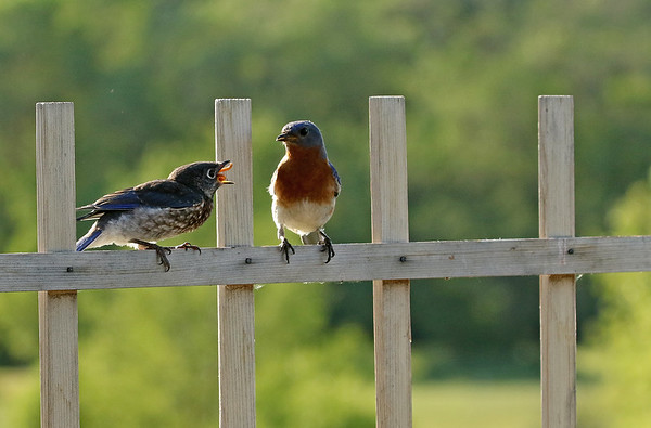 Male Eastern Bluebird Feeding Young #4