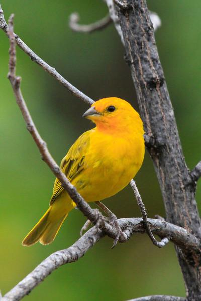 Saffron Finch on big island of Hawaii