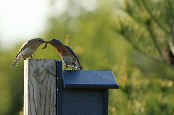Eastern Bluebird Feeding On Top Of Nesting Box