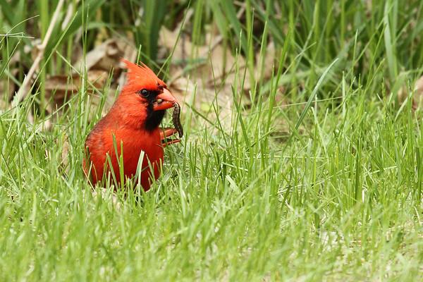 Northern Cardinal With Worm (Cardinalis cardinalis)