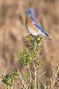 Bluebird(8x12)8944