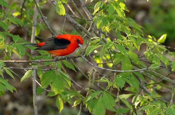 Scarlet Tanager (Piranga olivacea)