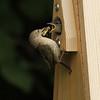 House Wren Feeding Young #1 (Troglodytes aedon)