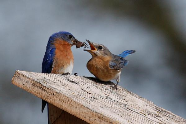 Eastern Bluebird Pair (Sialia sialis)
